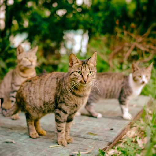 לוכד חתולים